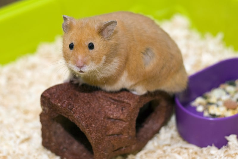 Hamsters are one of the best pets for seniors